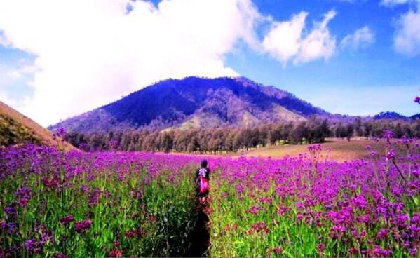 Taman Bunga Lavender di Gunung Semeru