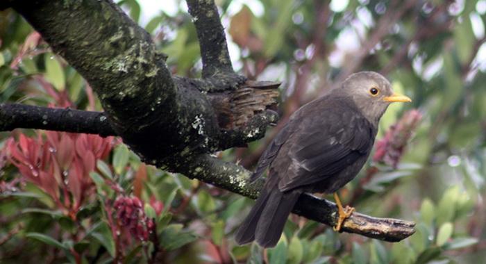 misteri burung jalak gading gunung lawu Jalak Lawu